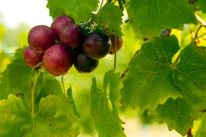 Red muscadine grapes on the vine.