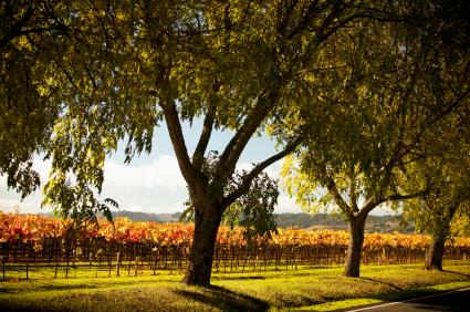 Napa Valley vines through trees