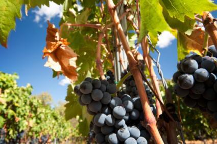 Priorat vines, Spain