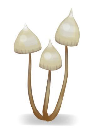 Three hallucinogenic psilocybe magic mushrooms
