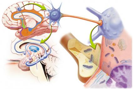 Brain Receptor Synapsis
