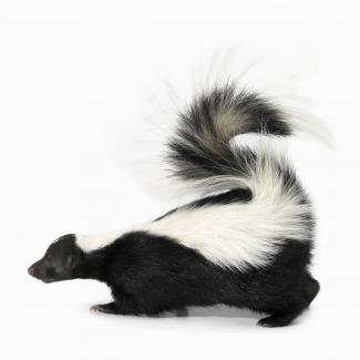 What else smells like skunk