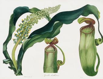 Pitcher Plant, Nepenthes distillatoria PXT282