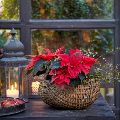 Christmas poinsettias in a vintage basket