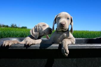Two puppy dogs on a farm in wheel barrow