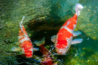 How to Create a Koi Fish Pond in Your Australian Garden