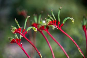 5 Kangaroo Paw Care Tips for Attractive Plants