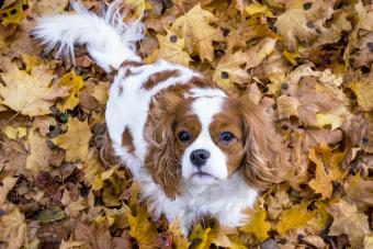 King charles spaniel dog among autumn leaves