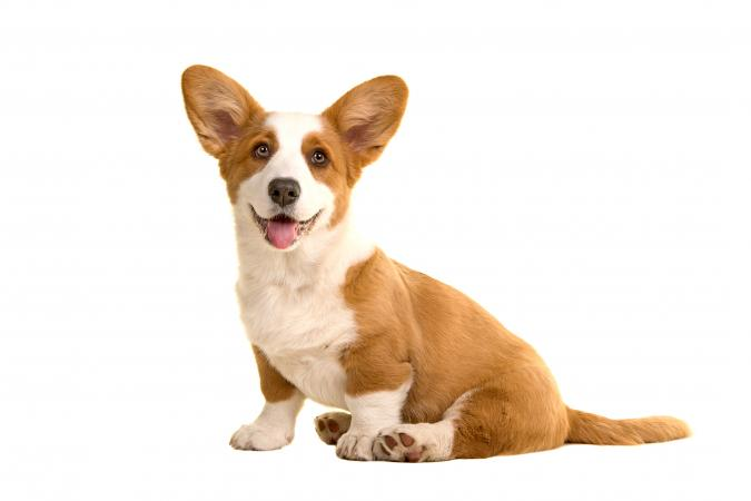 Portrait Of Corgi Dog Sitting