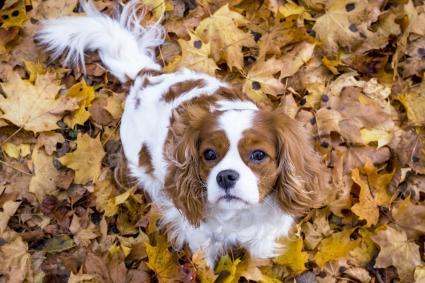 King charles spaniel dog among autumn leaves