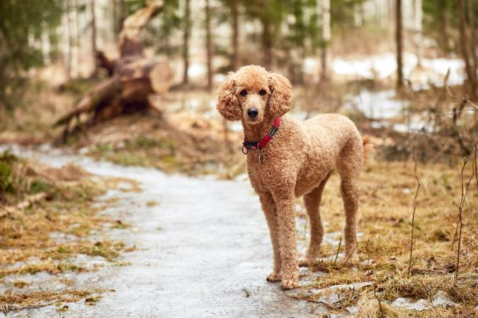 Portrait Of Standard Poodle On Footpath