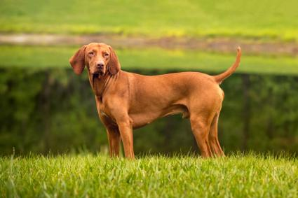 Muscular Vizsla stands on edge of lake