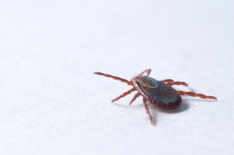 Best Ways to Remove Ticks