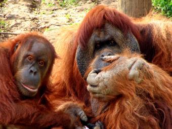https://cf.ltkcdn.net/best/images/slide/135682-850x638-Orangutan.jpg