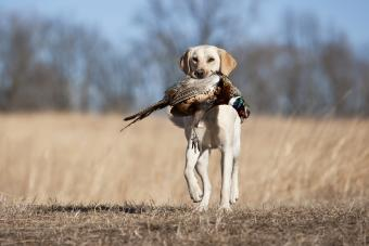 10 Best Hunting Dogs