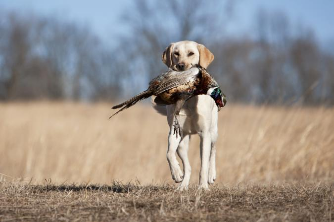 Yellow Labrador Retrieving a Pheasant