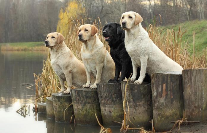 Labrador Retrievers in field trials
