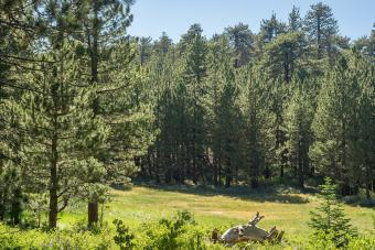 Jeffrey Pine forest atop Mt Pinos