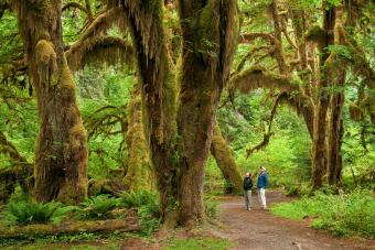 Bigleaf maple trees, Hall of Mosses Trail, Hoh Rainforest, Olympic National Park, Washington