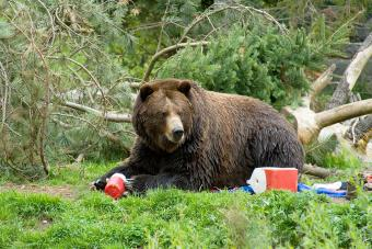 A brown bear trashing a campground and eating all of the food