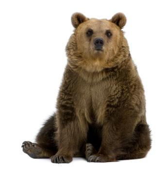 Bear sitting down
