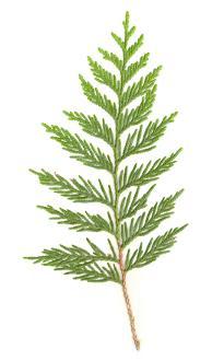 Cedar Leaf Holiday Fragrance Oil