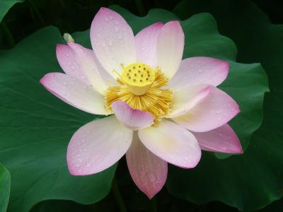 The lotus is a sensual flower.