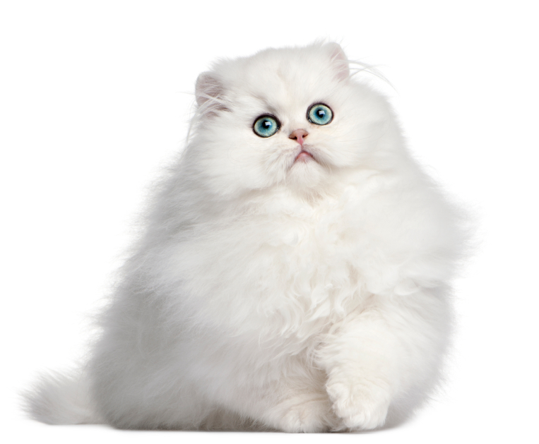 persian-kitten-four-month.jpg