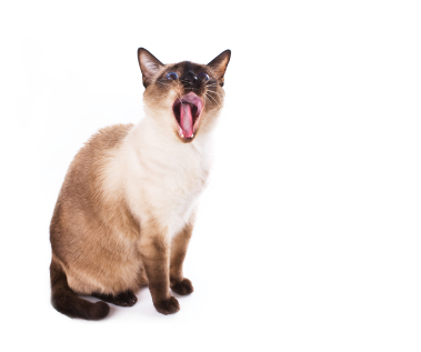 Names Of Siamese Cats In Movies