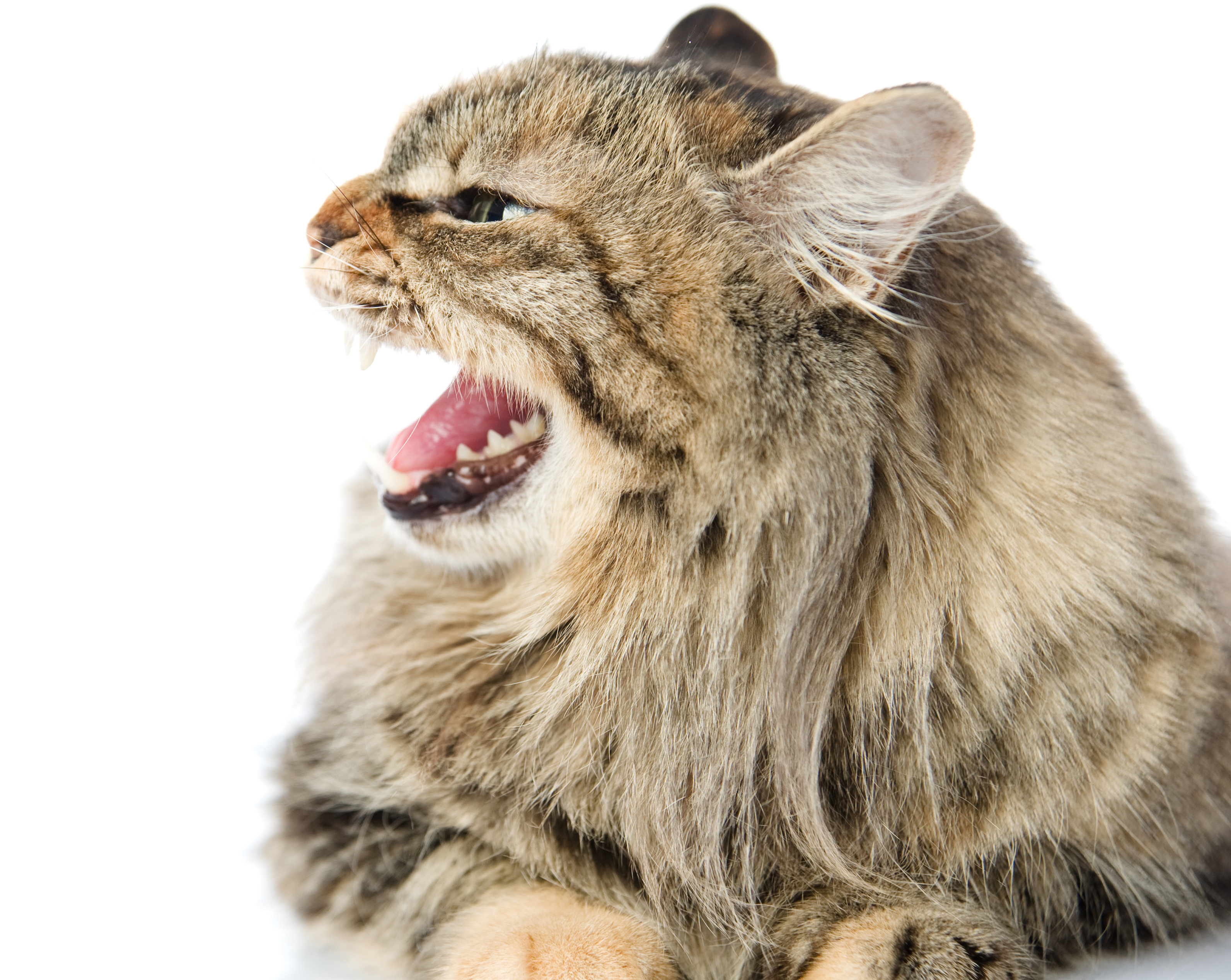 Cat Growling And Straining Back