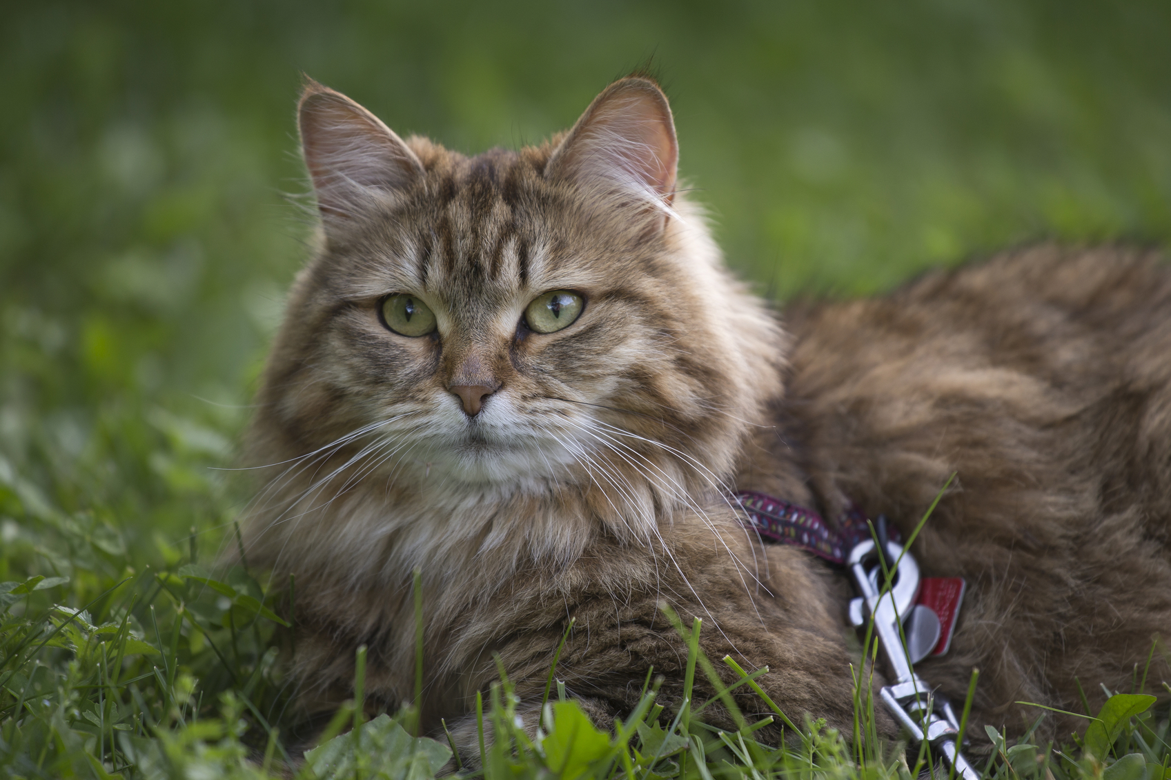 25  Adorable Siberian Cat Rescue