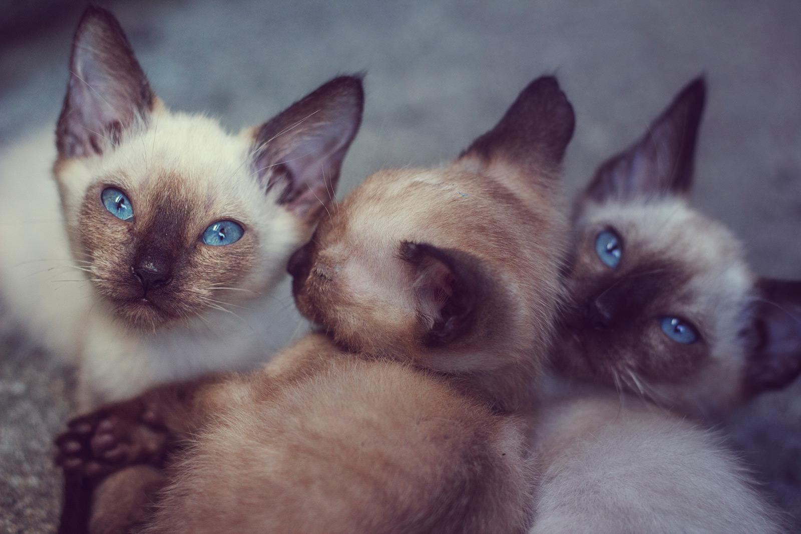 Finding Siamese Kittens For Adoption Lovetoknow
