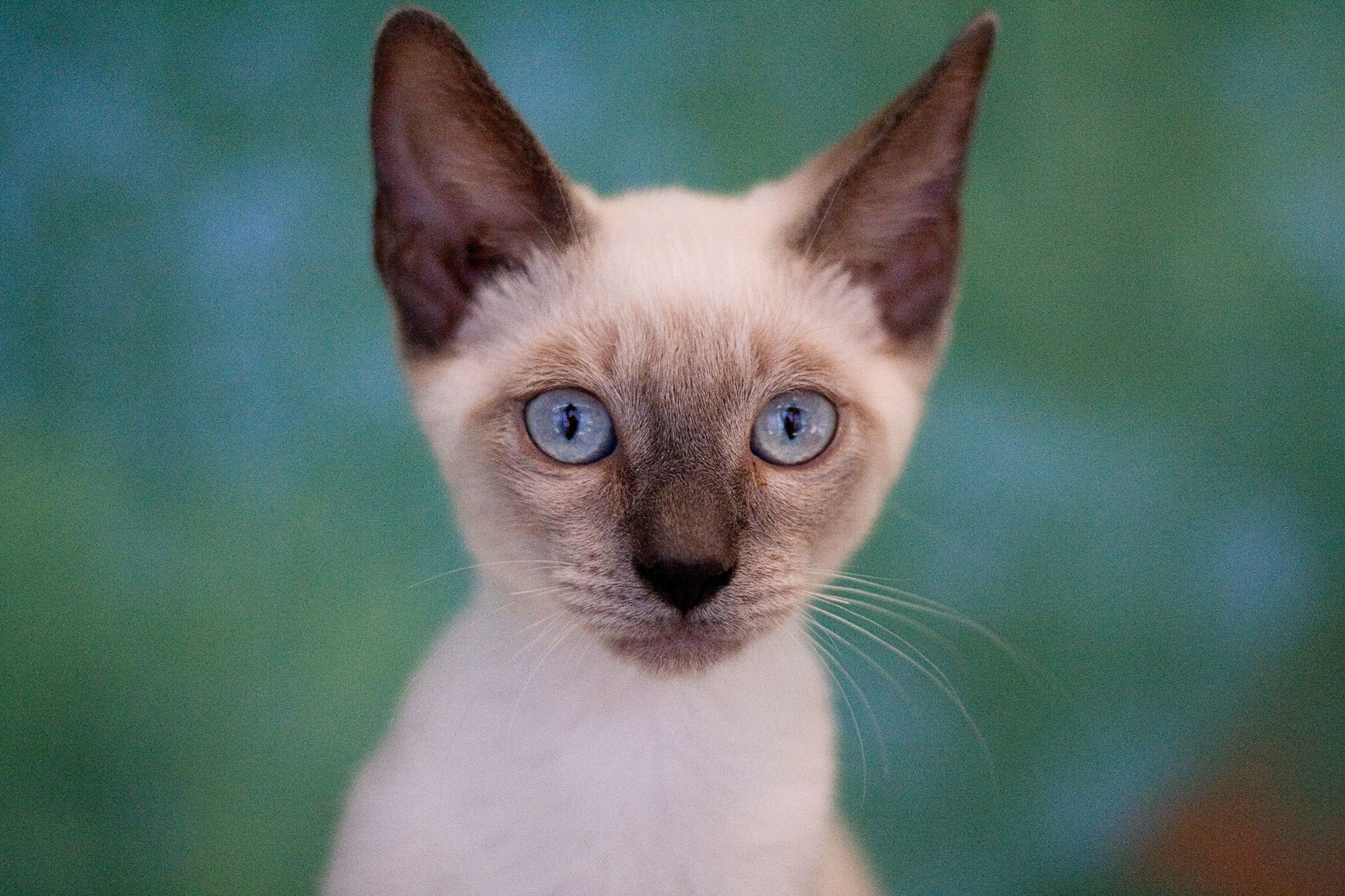 199 Creative Siamese Kitten Names Lovetoknow