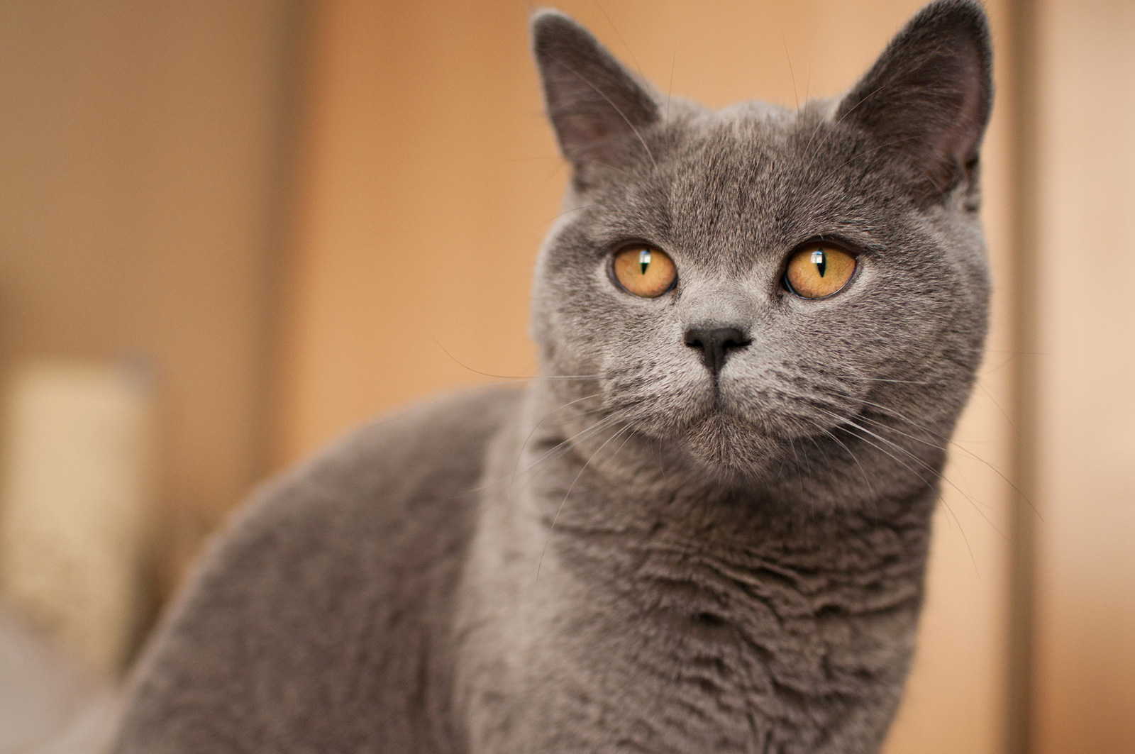 Characteristics Of British Shorthair Cats Lovetoknow