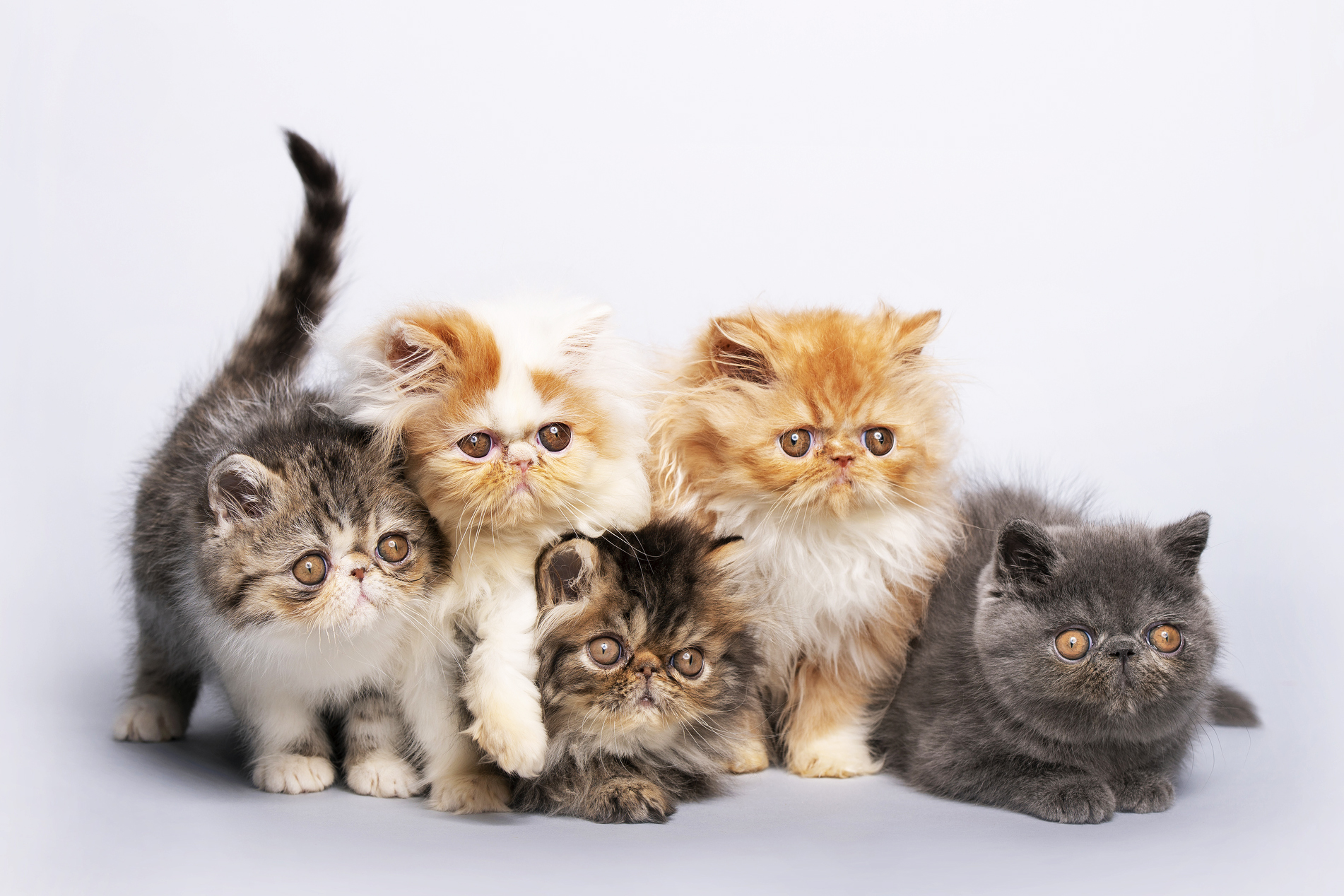 Irresistible Persian Cat Pictures | LoveToKnow