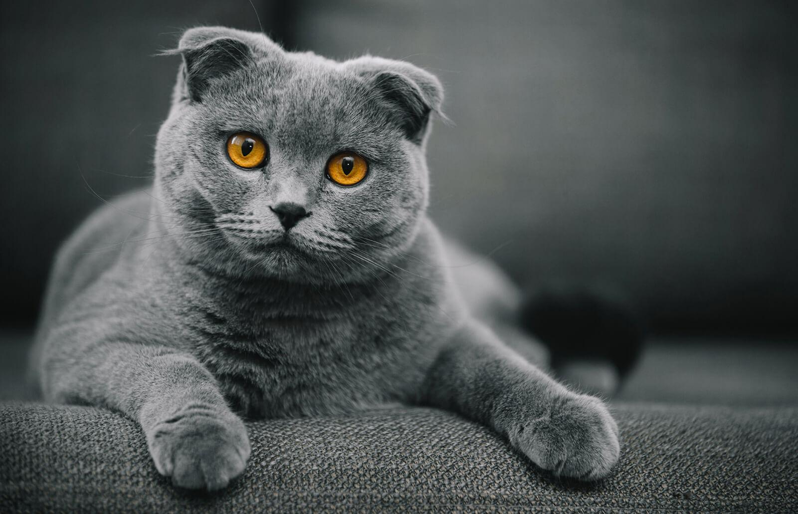 Scottish Fold Cat Breed History and Information | LoveToKnow