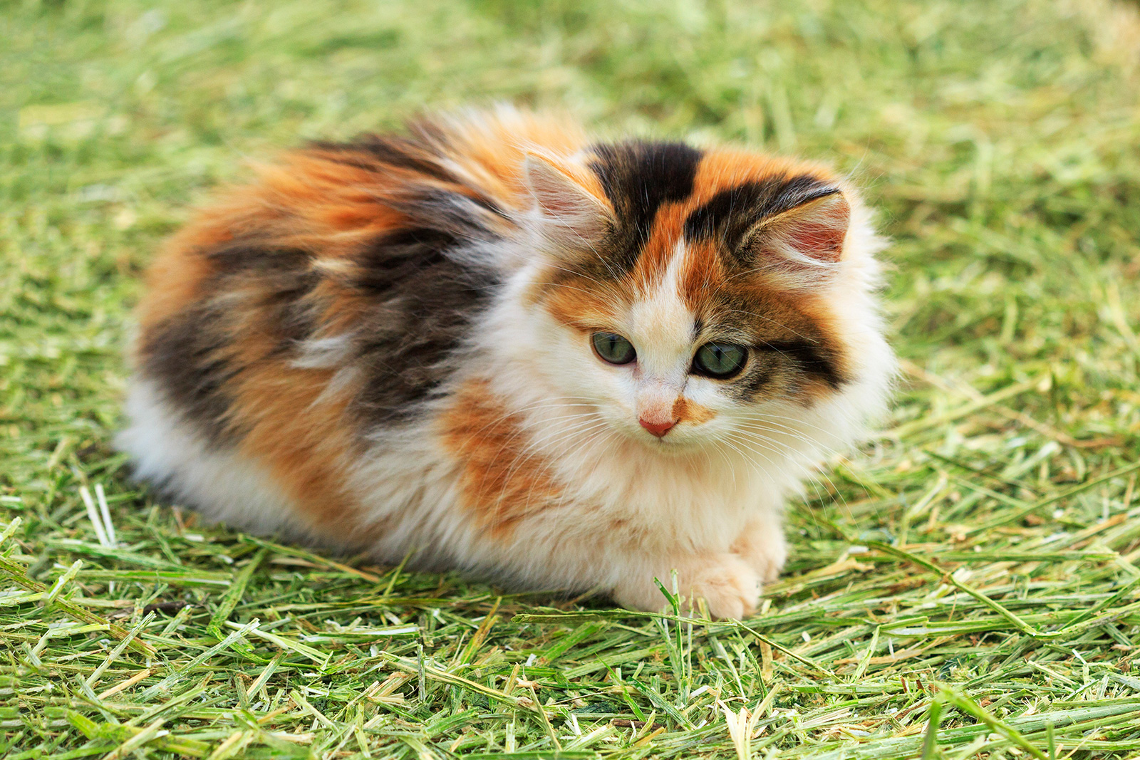 20 Fun Facts You Didn't Know About Calico Cats