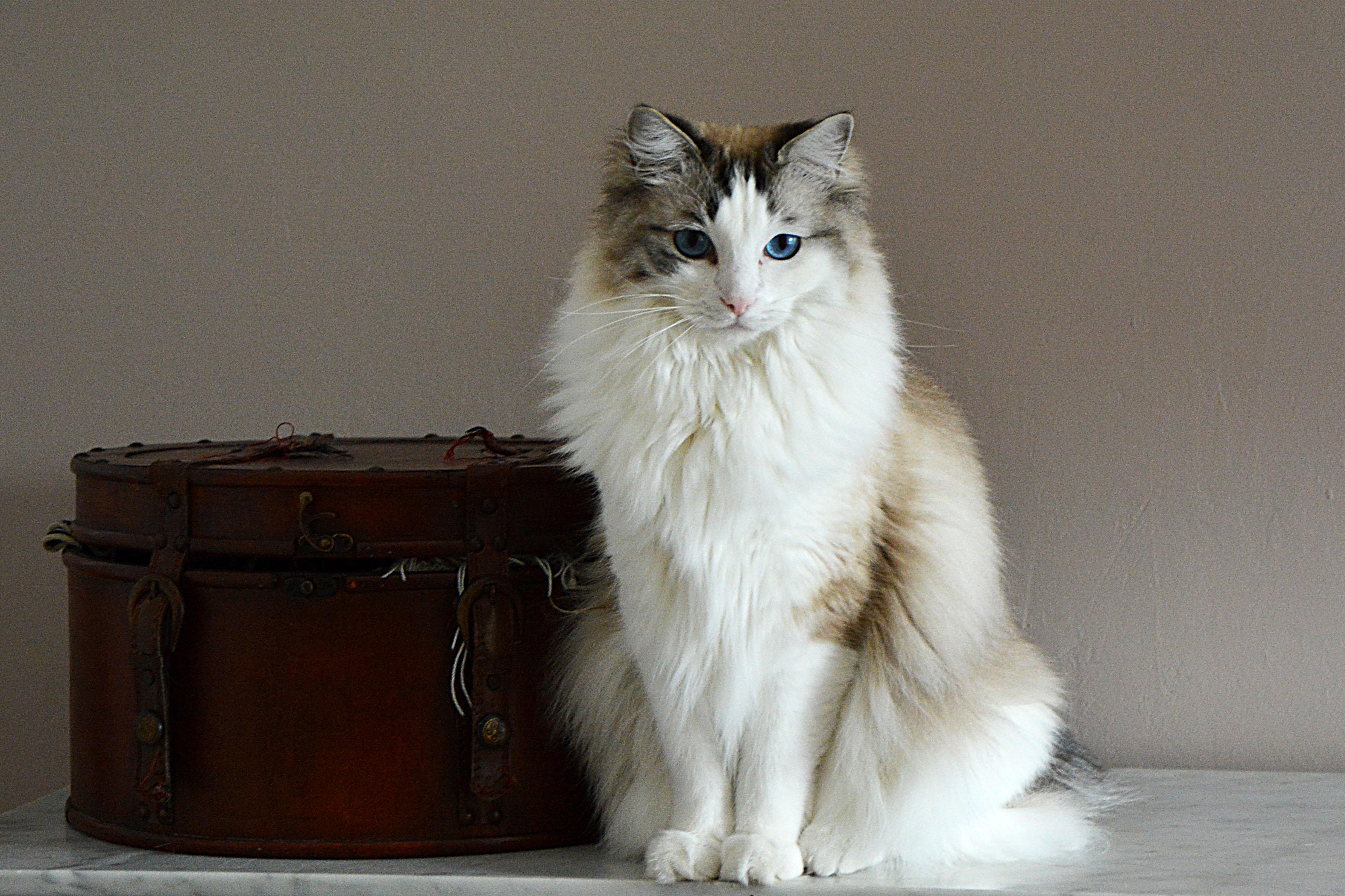 Inspiring Ragdoll Cat Rescue Associations Lovetoknow