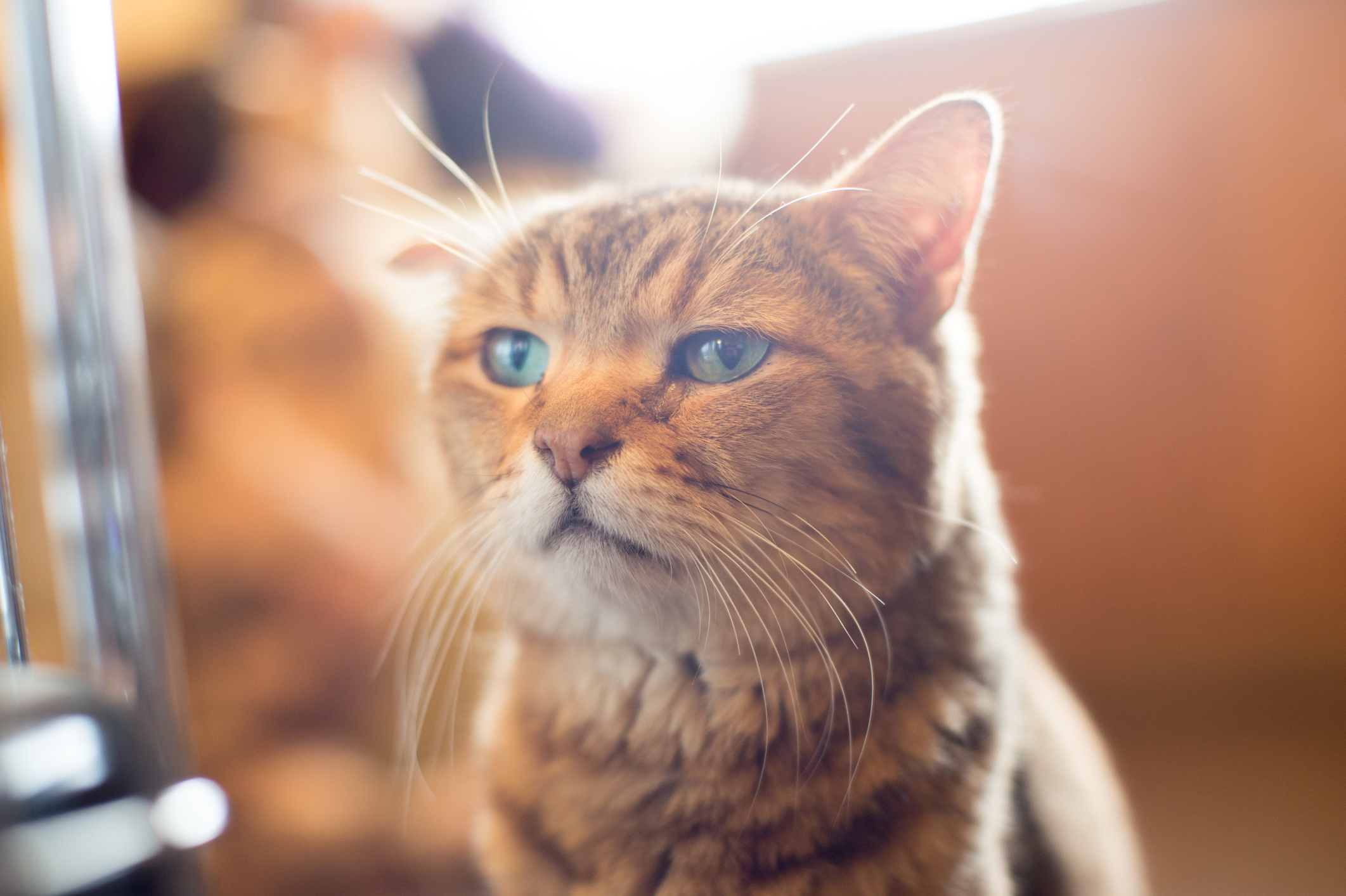 5 Egyptian Cat Breeds Lovetoknow