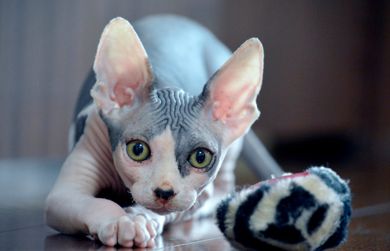 Sphynx Cat Breed Facts And Pictures Lovetoknow