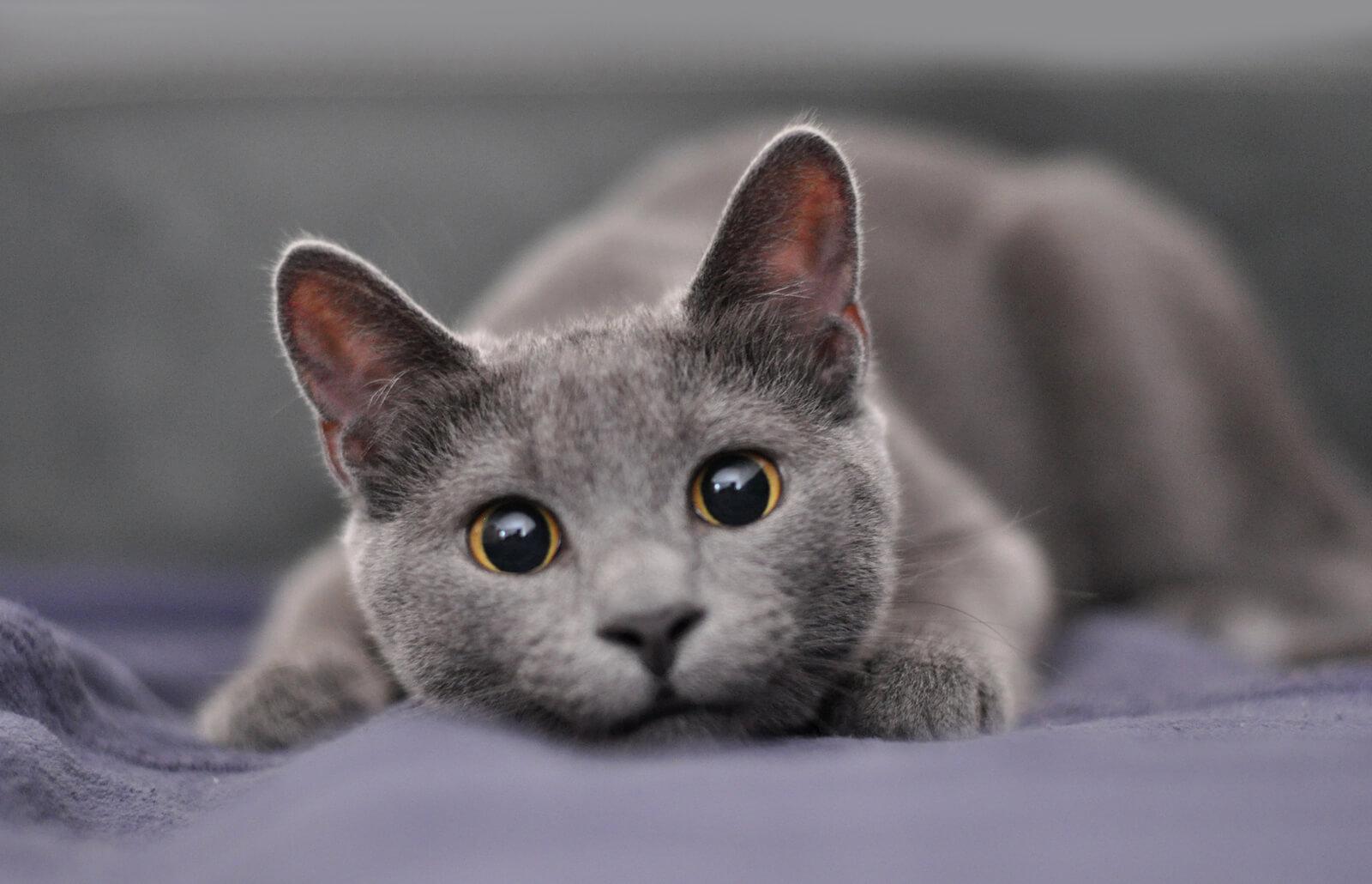 13 Gorgeous Grey Cat Breeds Lovetoknow