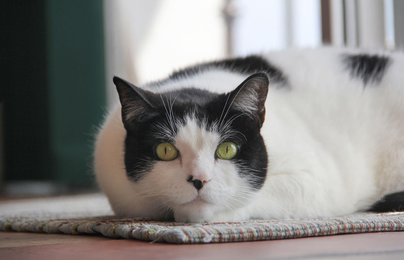 106 Distinctive Black And White Or Tuxedo Cat Names Lovetoknow