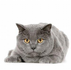 Image of a purebred blue cat