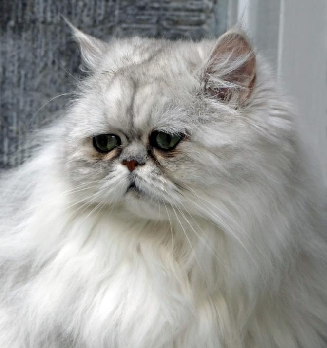 https://cf.ltkcdn.net/cats/images/slide/125505-671x715r1-Gentle-Persian.jpg