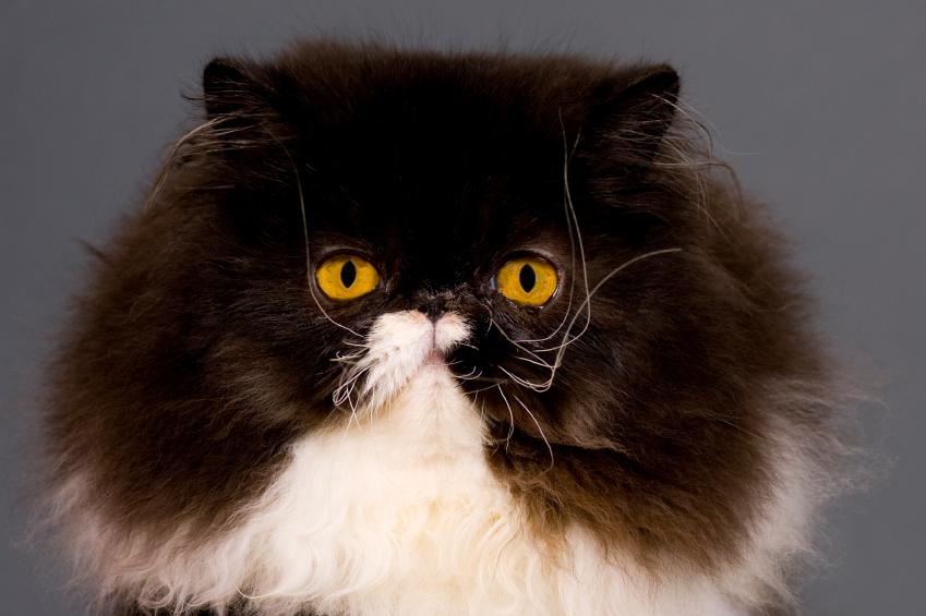 https://cf.ltkcdn.net/cats/images/slide/125506-849x565r1-Quiet-Persian.jpg