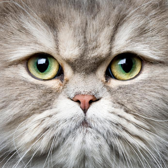 https://cf.ltkcdn.net/cats/images/slide/125508-693x693r1-Green-eyed-Persian.jpg