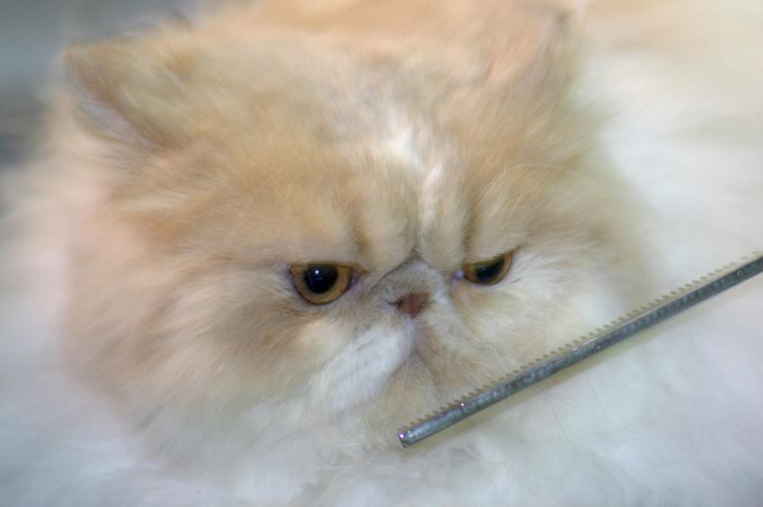 https://cf.ltkcdn.net/cats/images/slide/125510-849x565r1-Grooming-a-Persian.jpg
