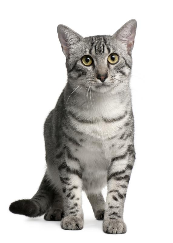 https://cf.ltkcdn.net/cats/images/slide/130987-571x800r1-Egyptian-Mau-kitten.jpg