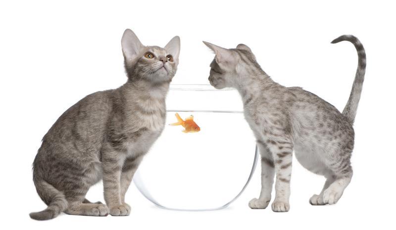 https://cf.ltkcdn.net/cats/images/slide/130989-800x465r1-Two-Ocicats.jpg