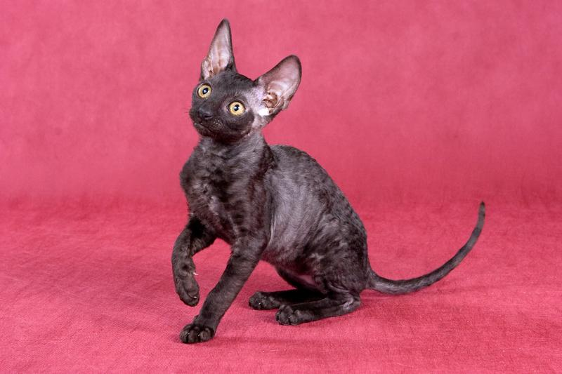 https://cf.ltkcdn.net/cats/images/slide/130991-800x533r1-Cornish-Rex-kitten.jpg
